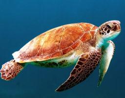 Dibujos de tortugas para colorear.